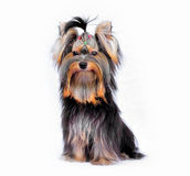 Yorkshire terrier. On white background Royalty Free Stock Images