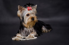 Yorkshire terrier. With pearls on black background Royalty Free Stock Images