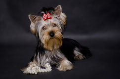 Yorkshire terrier. On black background Royalty Free Stock Image