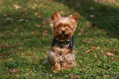 Yorkshire Terrier Royalty Free Stock Photography