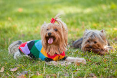 Yorkshire terrier. Two small yorkshire terrier lie on grass Royalty Free Stock Photography
