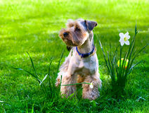 Yorkshire Terrier. Yorkshire Terrier puppy on green grass Stock Photos