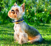 Yorkshire Terrier. Yorkshire Terrier  on green grass Stock Image