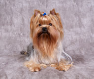 Yorkshire Terrier. On the textile background Stock Photography