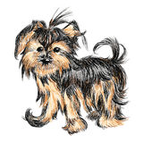 Yorkshire terrier. The  funny small  Yorkshire terrier  puppy Stock Photos