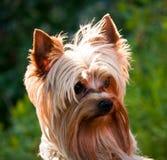 Yorkshire-Terrier Lizenzfreies Stockbild