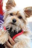 Yorkshire-Terrier Stockfoto