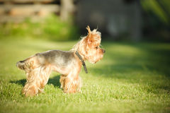Yorkshire Terrier Stock Photography