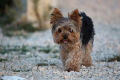 Yorkshire Terrier Royalty Free Stock Photos