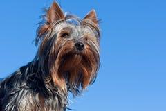 Yorkshire terrier Fotografia de Stock Royalty Free