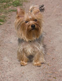 Yorkshire terrier 3 Royalty Free Stock Photo