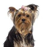 Yorkshire Terrier, 3 gammala som år ser Arkivfoton