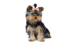 Yorkshire terrier (3 mesi) Immagine Stock
