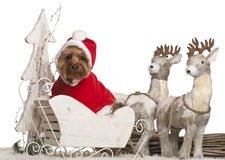 Yorkshire Terrier, 3 years old, in Christmas Stock Image