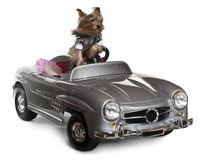 Yorkshire Terrier, 3 years old, driving Stock Images