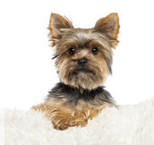 Yorkshire Terrier, 3 years old, lying Royalty Free Stock Photo
