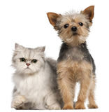 Yorkshire Terrier, 3 years old, and a Persian Royalty Free Stock Photo