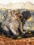 Yorkshire Terrier arkivbild