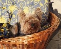 Yorkshire Terrier royaltyfri bild