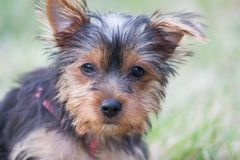 Yorkshire Terrier. A portrait of a yorkshire terrier puppy playing in the grass royalty free stock images