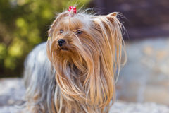 Yorkshire Terrier Stockfotografie