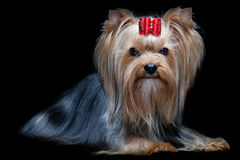 Yorkshire terrier Fotografie Stock