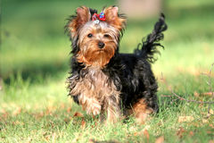 Yorkshire Terrier. Walking in park - autumn, green grass Stock Photo
