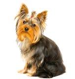 Yorkshire Terrier Lizenzfreie Stockbilder