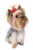 Yorkshire terrier. Yorkshirsky Terrier dog breeds on a white background Royalty Free Stock Image