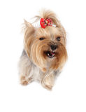 Yorkshire terrier. Yorkshirsky Terrier dog breeds on a white background Royalty Free Stock Images