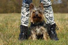 Yorkshire terrier Imagem de Stock