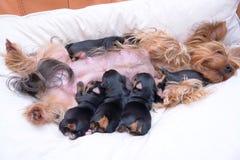 Yorkshire-Terrier Lizenzfreie Stockfotografie