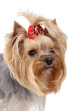Yorkshire terrier. Dog breeds on the head with a bow Royalty Free Stock Photo