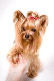 Yorkshire terrier Royaltyfria Foton