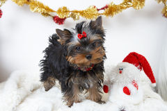 Yorkshire terrier. The puppy of the yorkshire terrier with a snowman royalty free stock photo