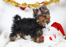 Yorkshire-Terrier Lizenzfreie Stockfotos