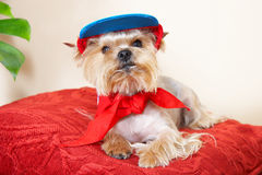 Yorkshire terrier. In the cap royalty free stock image