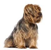 Yorkshire Terrier, 4 gammala år, sammanträde Fotografering för Bildbyråer
