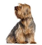 Yorkshire Terrier, 4 gammala år, sammanträde Arkivbilder