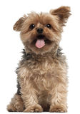 Yorkshire Terrier, 4 and a half years old Royalty Free Stock Images