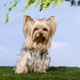 Yorkshire Terrier (4 years old) Royalty Free Stock Photos