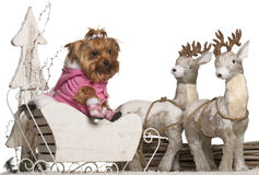 Yorkshire Terrier, 4 years old, in Christmas Stock Images