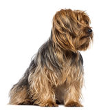 Yorkshire Terrier, 4 years old, sitting Stock Image
