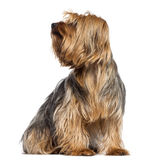 Yorkshire Terrier, 4 years old, sitting Stock Images