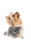 Yorkshire Terrier. Dog breeds on a white background Royalty Free Stock Image