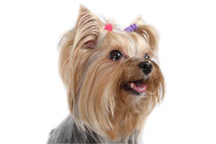 Yorkshire Terrier. Dog breeds on a white background Stock Photography