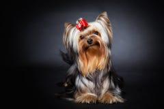 Yorkshire terrier Fotografia Stock Libera da Diritti