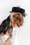 Yorkshire Terrier Royalty-vrije Stock Afbeeldingen