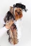 Yorkshire Terrier Royalty-vrije Stock Afbeelding