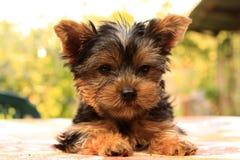 Yorkshire Terrier photos libres de droits